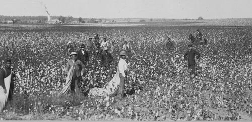 Cotton Field - Landscape